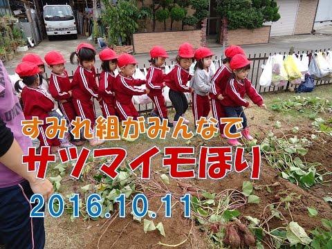 2016八幡保育園(福井市)のさつまいもほり!すみれ組(3歳児年少)はみんなで力を合わせて引っ張りました!