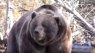 Video Bear Attacks Truck! MP3, 3GP, MP4, WEBM, AVI, FLV Mei 2017