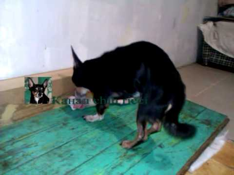 Чихухуа грызет кость (chih ricci) / Chihuahua barking and chewing a large bone