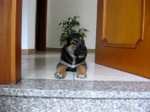 cucciolo di pastore tedesco impara a scendere le scale