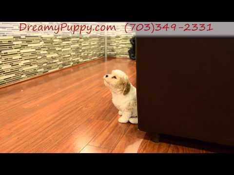 Very pretty Cavachon Boy Puppy!