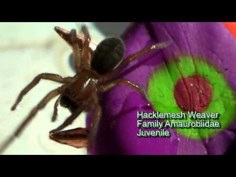 Spiders of Wenatchee, Washington