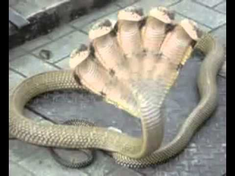 Five Headed Snake In India