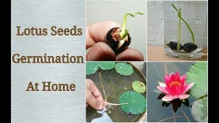 Download Lagu Lotus Germination At Home - Easy Process step by step Mp3