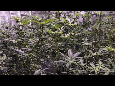 Episode 8: Seed to Harvest Update (Day 15 of flower) Kanna Genetics