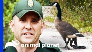 Catching An Injured Goose With A Severely Damaged Wing | North Woods Law by Animal Planet