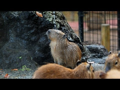Baby Capybara's Enjoying A Spa Shower Is The Video We Need