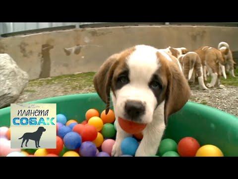 Сенбернар. Планета собак