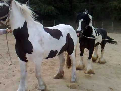 Dekking Lady door Celtic (stallion for Sale)