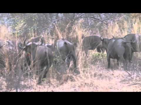 Video Hunting Illustrated - Tanzania Leopard download in MP3, 3GP, MP4, WEBM, AVI, FLV January 2017