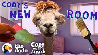 Tiny Alpaca Gets Her Own Bedroom   Cody The Tiny Alpaca (Episode 5) by The Dodo