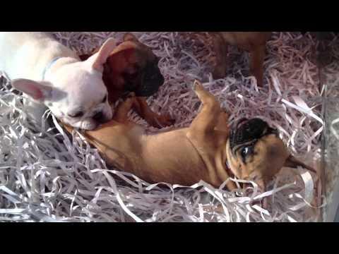 the cutest french bulldog!