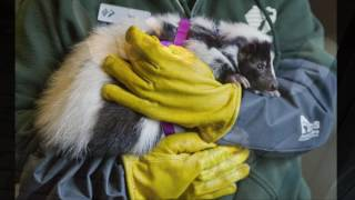 John Ball Zoo celebrates Groundhog Day tradition with a skunk