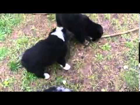 CH Sired Mini Aussiei Male  CHASE
