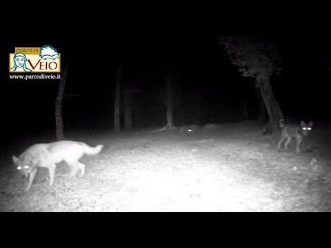 Avvistato un branco di cinque lupi nella zona nord del Parco di Veio