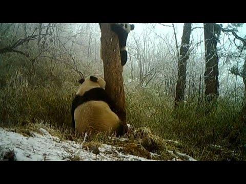 China: Wilde Pandas gesichtet (mit versteckten Kame ...
