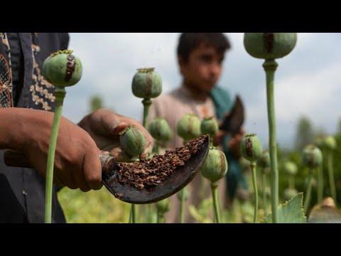Afghanistan: Bauern halten weiter an Opiumanbau fest