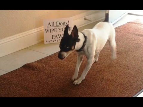Watch these dogs wipe their feet - pretty awesome!