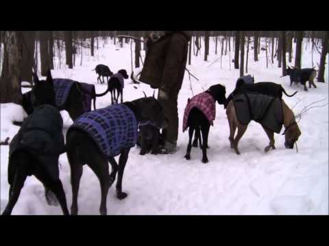 WATCH: 35 Great Danes Walking In The Snow
