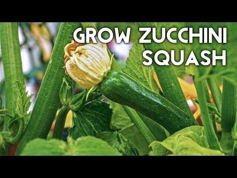 Growing Zucchini Squash - Advice, Tips, Harvest & Recipe