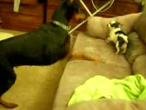 Doberman attacking Chihuahua