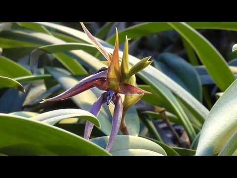 Orchideen Arten: Bulbophyllum nymphopolitanum
