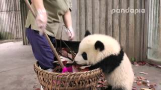 "Video Panda cub and nanny's ""war"" MP3, 3GP, MP4, WEBM, AVI, FLV Agustus 2019"