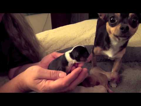 Bess' Chihuahua Puppies