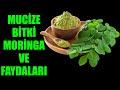 Mucize Bitki Moringa ve Faydaları