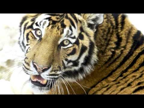 Fenséges tigrisek- Panthera tigris altaica (5D mkII video)