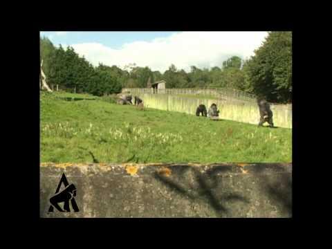 「[動物]あのゴリラが、上体を起こして二足歩行している衝撃の映像。」のイメージ
