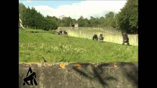 Gorilla Walks Like A Man!
