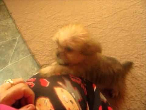 Meet Wendy and Whitney two adopted shorkie puppies