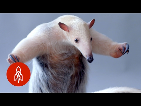 Two Anteaters Meet Each Other For The First Time