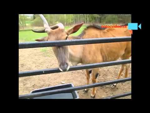 Býk antilopy losí v zooparku Dvorec u Borovan 16.4.2016