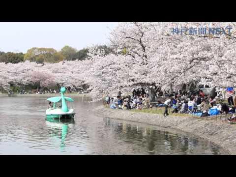 2016桜日和 お花見満喫 明石公園