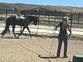 2 yr old Skys Blue Boy solid black/brown gelding for sale - Congress/World Quality