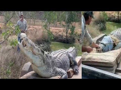 Aussie crocodile wrangler captures monstrous five metre predator (Video) Any Articles News