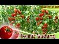 Teknis Budidaya Tomat Menggunakan Pupuk Organik NASA di tasikmalaya