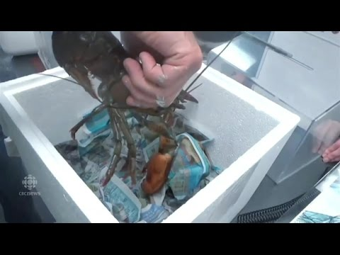 Lobster rescued from Ontario store and flown back to Nova Scotia