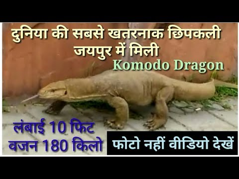 Video Komodo Dragon Found At Jaipur Jalmahal !! By Serv Gyaan Sampan download in MP3, 3GP, MP4, WEBM, AVI, FLV January 2017