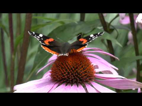 Panasonic X909 Test 4. Echinacea Schmetterling Butterfly Sonnenhut