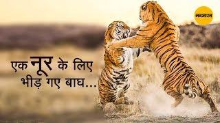 एक नूर के लिए भीड़ गए 2 बाघ