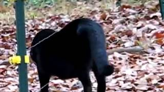 Video Cats Gets SHOCKED By ELECTRIC Fence MP3, 3GP, MP4, WEBM, AVI, FLV Mei 2017