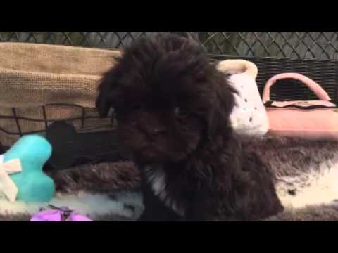 Lovely, Shih-poo puppy