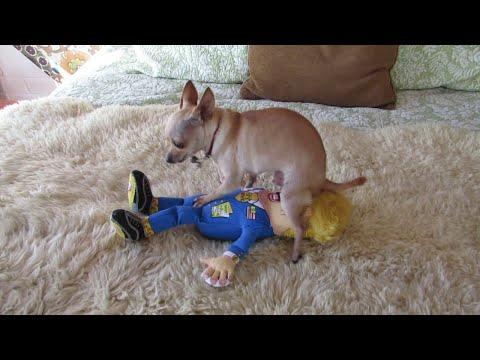 Chihuahua ja Donald Trump