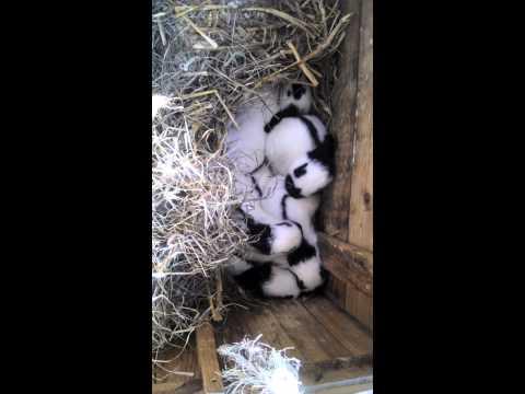 nest groot lotharinger konijnen