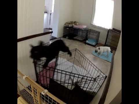 Koira pakenee aitauksestaan – Melkoinen ninja!