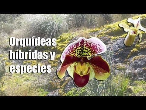 Videos caseros - Orquídeas híbridos y Orquídeas especies: ¿Qué son y en qué se diferencian?  Orquiplanet