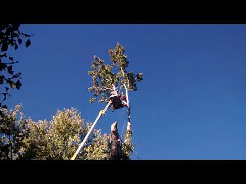 Melrose Tree and Landscaping: taking the top out of a Large sycamore